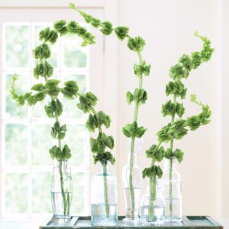 A member of the mint family, aromatic bells of Ireland are prized for their sinuous stalks and distinctive funnel-shaped leaves, which surround tiny white blossoms. Emphasize their shapeliness and delicate coloring by adding single stems to empty olive oil bottles, then group them on a rustic, green-painted window shutter.  Return to Gallery