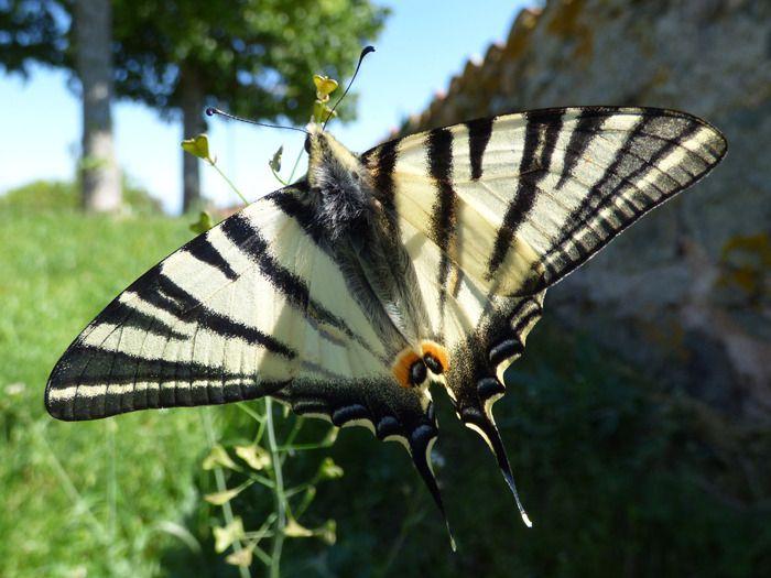 Papillon Le Flambe Ou Le Voilier Mon Jardin Du