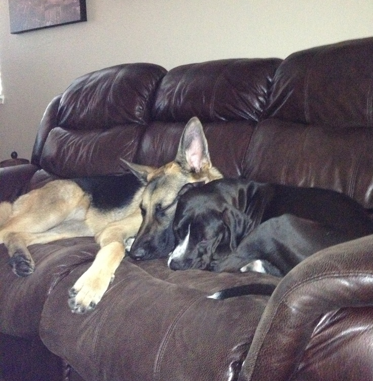 Puppy love! Liam, German Shepherd and Charlie, a female, Pitbull mix.