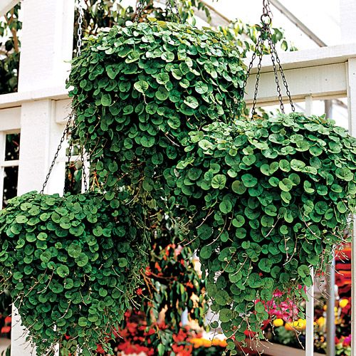 Emerald Falls Dichondra Ground Cover Seeds  in hanging baskets  you never have to replant anything . what a great idea