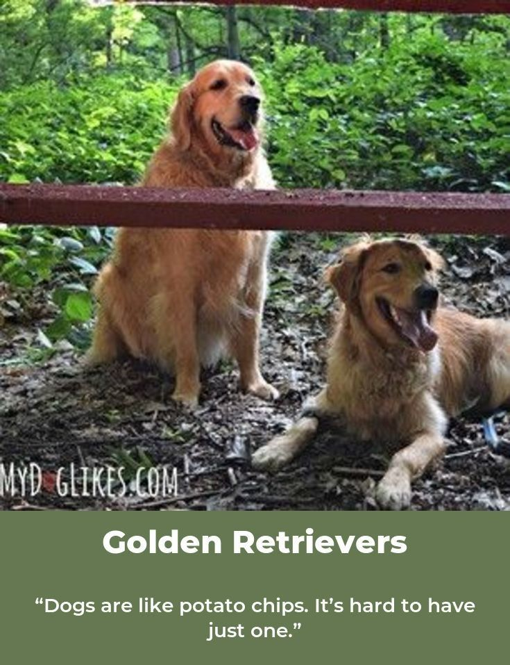 Golden Retrievers Are Magical Goldenretrievertshirts