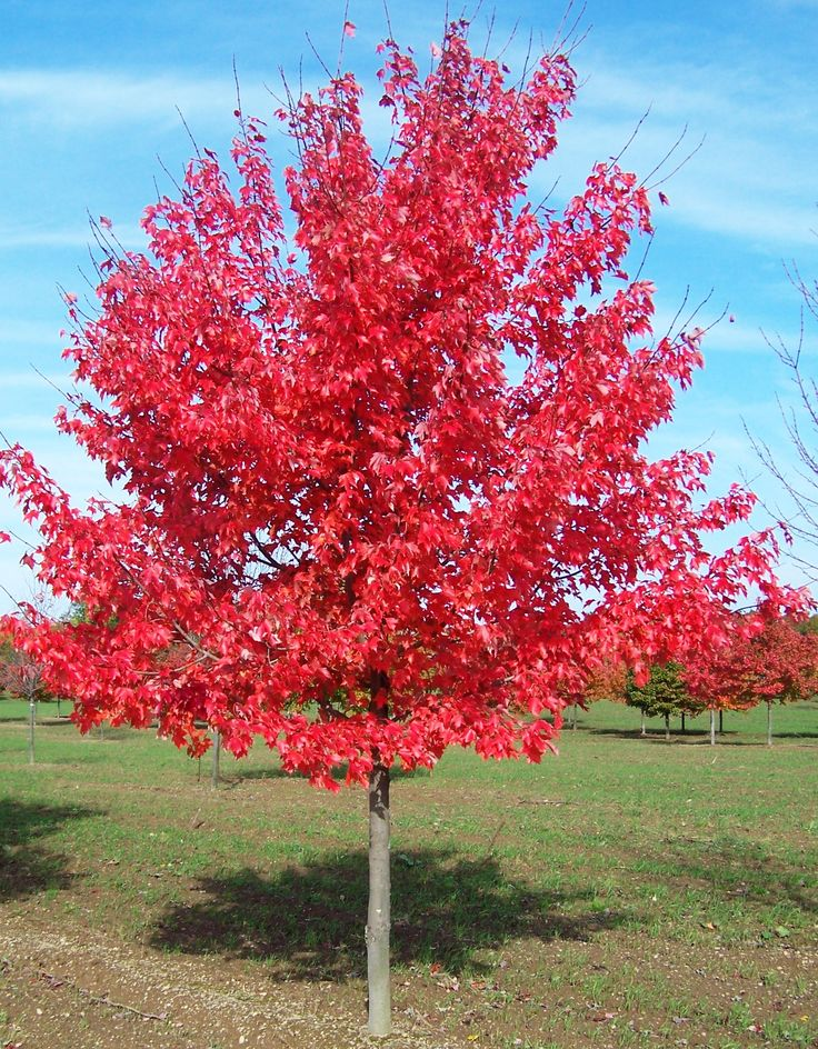 Acer rubrum 'October Glory' - Maréchal