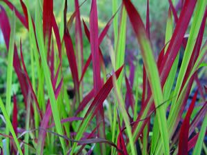 Imperata cylindrica 'Rubra' also called Japanese blood grass is a stunning fresh green grass with bright red tips. It is quite short and only reaches 0.35m in height. It grows well in free draining, sandy soil. Quite hardy grass that can cope with both alkaline and acid soils. It is ideal in a Coastal situation as it tolerates poor soil and Sun. It is perfect for that hotspot in your garden!