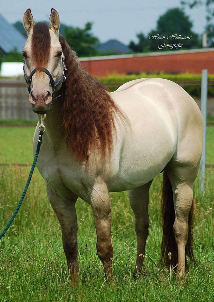 Triple Jet Cee Jay AQHA Stallion,, Classic Dun Champagne,, tested Ee/aa/nCH/Dd