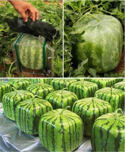 The Japanese people are amazing. Finding round watermelons a pain to deal with, a farmer began growing square watermelons - easy to store, easy to cut and just as tasty in the summer heat! Incredible!! Found on Citta design blog