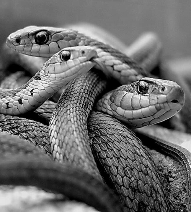 Reunion de serpientes. Meeting of snakes. Foto.