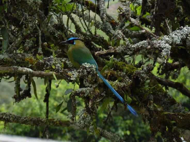 El Barranquero, o Soledad, como es llamado el Momotus aequatorialis, asiduo visitante en las montañas del Oriente Antioqueño, Colombia. Aquí, exhibiéndose en todo su esplendor!