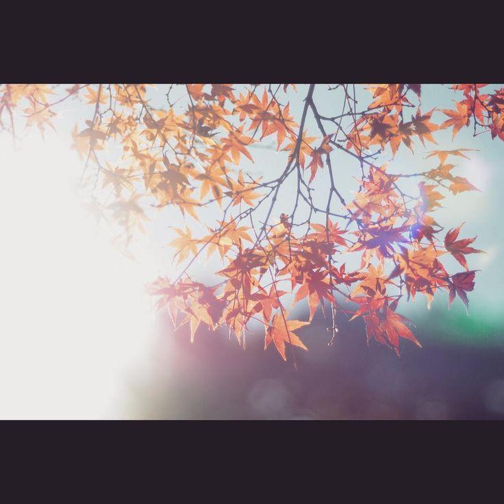 #autumn #autumnleaves #winter #sun #sunnyday #nature #naturelovers #naturephotography #aichi #castle #oldrens #webstagram #instaphoto #instagood #ファインダー越しの私の世界 #キタムラ写真投稿 #写真撮ってる人と繋がりたい #写真好きな人と繋がりたい #紅葉 #逆光 #オールドレンズ