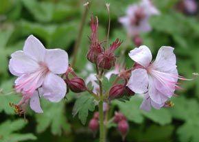 Geranium macrorrhizum 'Ingwersen's Variety' - Balkan-Storchschnabel