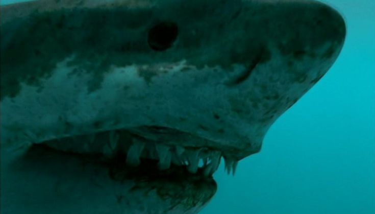 Megalodon | Megalodon - Walking With Wikis - BBC, Walking With Dinosaurs, Cavemen ...