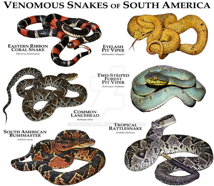 Venomous Snake of South America by rogerdhall on DeviantArt