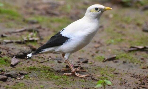 Mitos Jalak Pito Jalak Burung Habitat