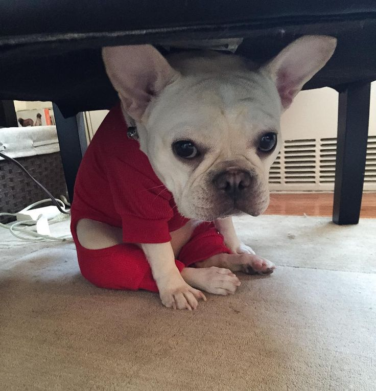 """""""I did something I wasn't supposed too""""... """"now I'm hiding""""... """"ssssshhhh"""", naughty French Bulldog Puppy"""