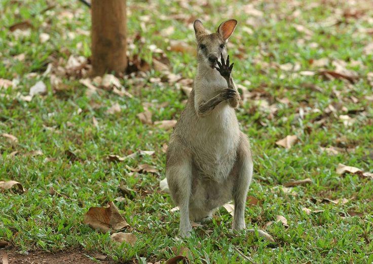 Animals Waving Goodbye 6 kangaroo | Animals Waving Goodbye ...
