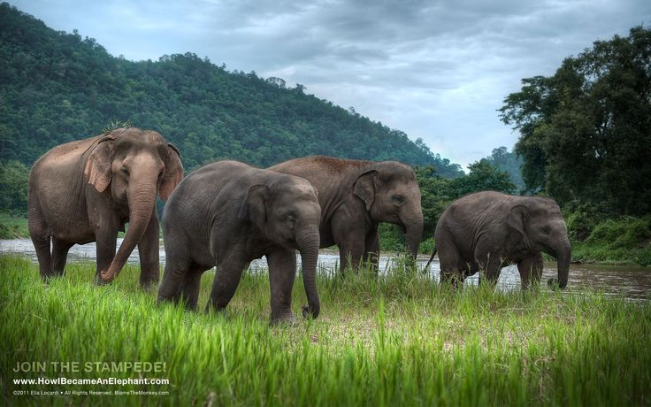 Free Elephant Desktop Wallpapers or Background - Afternoon Stroll ...