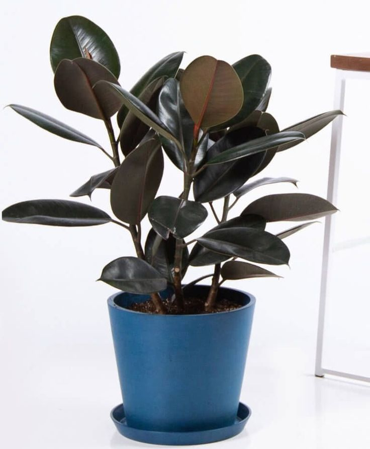 Buy potted burgundy rubber tree indoor plant bloomscape