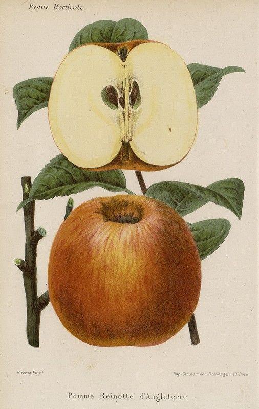 SNHF | Pomme Reinette d'Angleterre