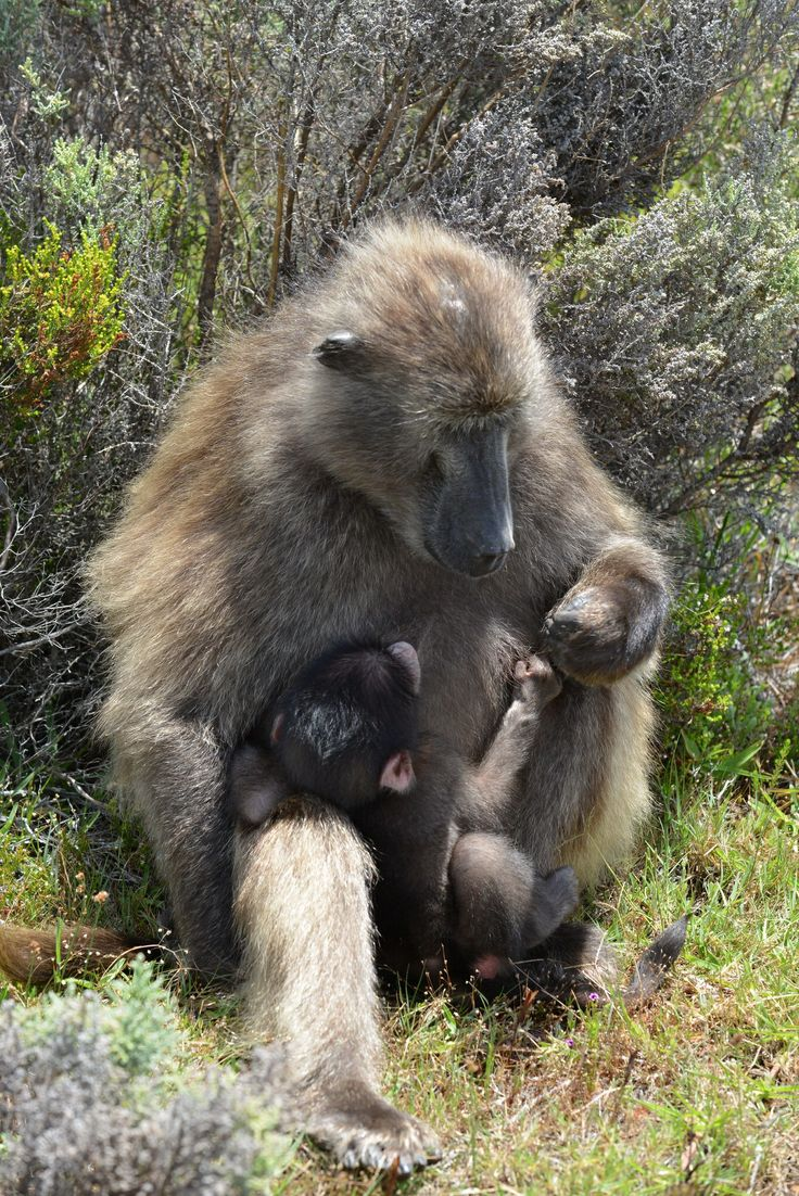 Cape Point, South Africa, Jan. 2014: Mother baboon in intimate connection with her baby