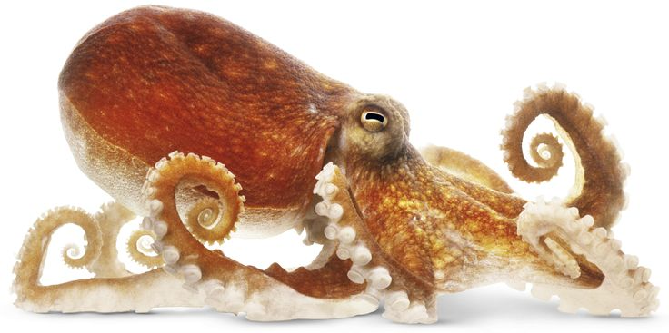 Why octopuses are awesome