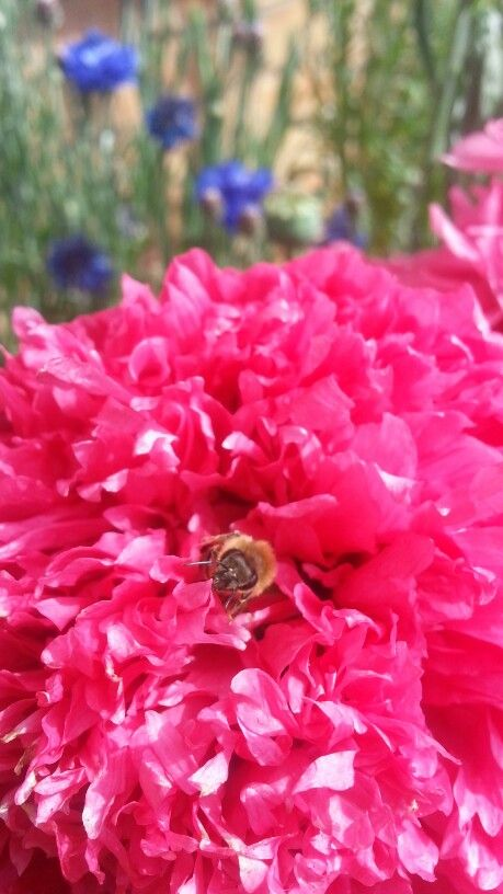 Peony poppy and bee