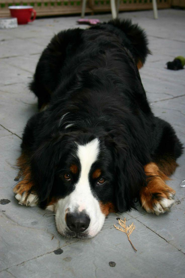 bernese mountain dog full grown. Black Bedroom Furniture Sets. Home Design Ideas