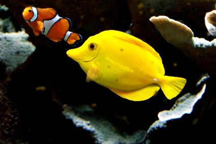 Poissons tropicaux poissons pinterest for Poisson tropicaux