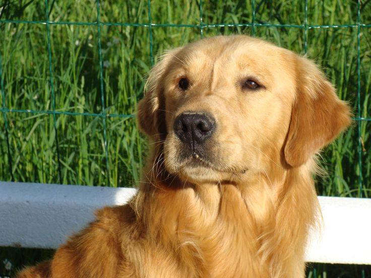 Articles and guides on how to adopt, train, and care for your own golden retriever dog. Description from dogbreedspicture.net. I…