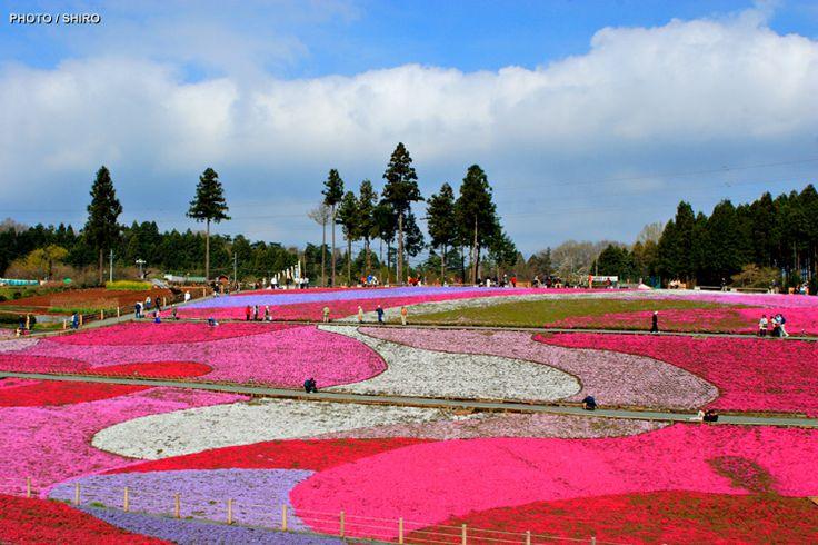 羊山公園の芝桜  Japan♪