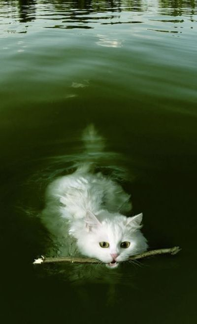 Fetching Cat!Dogs Cat, Cute Cat, Sticks, Kitty, Dogcat, Swimming, Animal, Baby Cat, White Cat