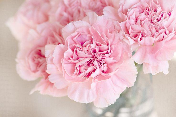 Цветы, Розовый, Гвоздика, Срезанные Цветы, Закрыть