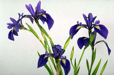 Iris laevigata - Japanese iris. Up to 70cm high with erect sword shaped leaves and purple flowers