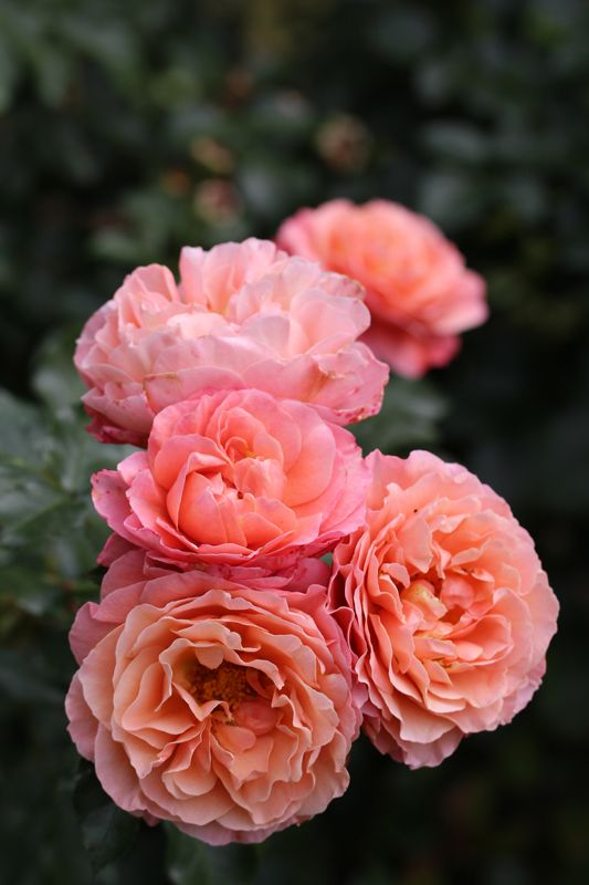 rosa 39 marie curie 39 arboretum vol ji potok roses. Black Bedroom Furniture Sets. Home Design Ideas