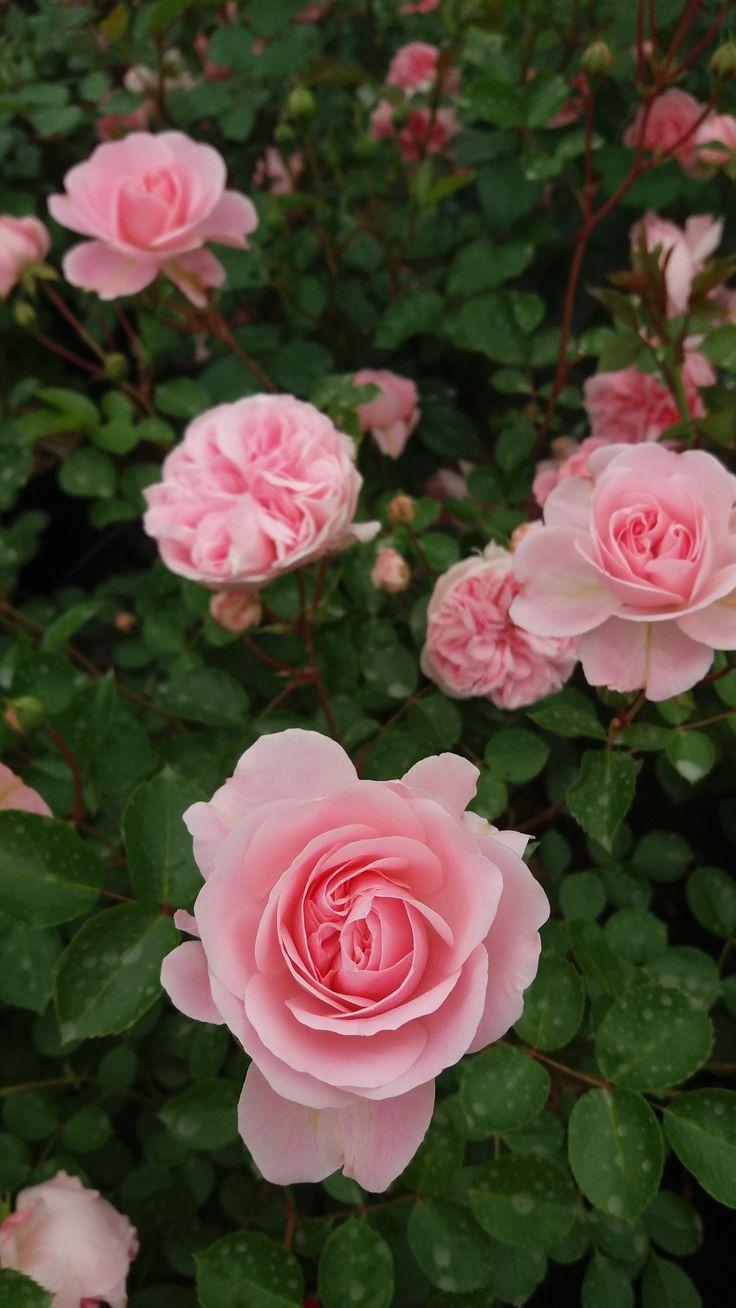 les 36 meilleures images du tableau un jour une rose sur pinterest belles roses hauteur et. Black Bedroom Furniture Sets. Home Design Ideas
