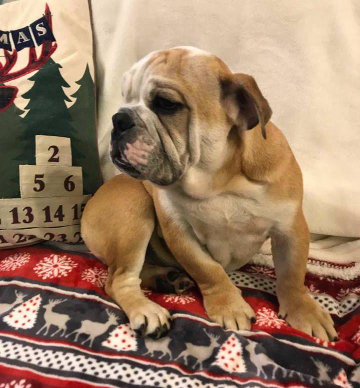 English Bulldog Puppy For Sale In Charleston Sc Adn 56100 On