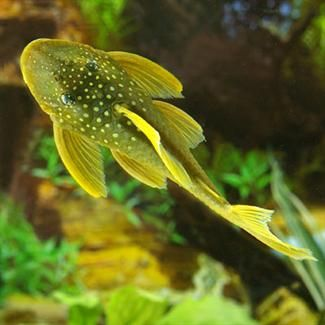 Green Spotted Plecostomus