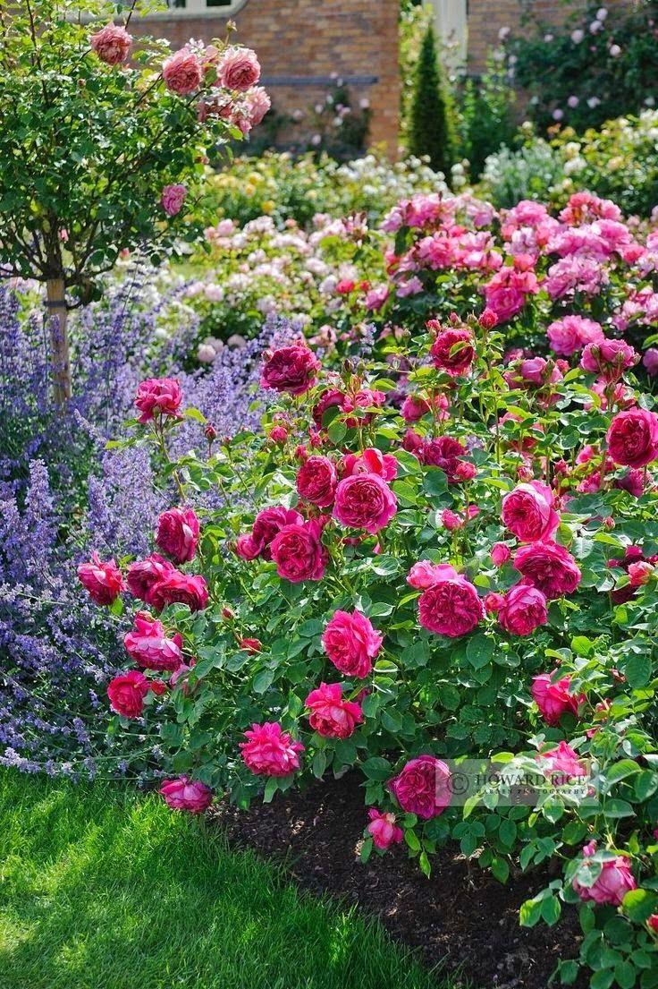 Lavender and rose, so classically beautiful / Lavendel und Rosen gemeinsam im Beet, verträumter Gartenklassiker