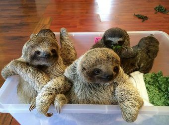Best Sloth Images On Pinterest Sloths Baby Sloth And Beautiful - 5 month old baby and sloth are the most unlikely of best friends