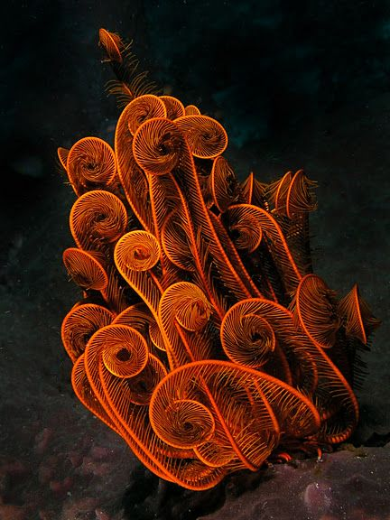 Feather star (Crinoidea) are primarily nocturnal but they are seen in the open during the day with their arms rolled up. Jim LylePicasa Web, Orange, Underwater Photography, Sea, Underwater World, Jim Lyle, Web Album, Nature Beautiful, Feathers Stars