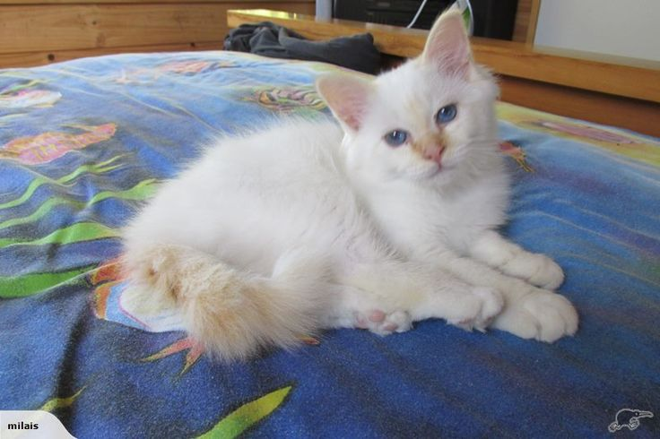 BIRMAN Kitten NZCF Reg Red point male Trade Me Birman