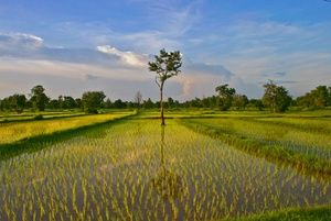 Rice fields in NE Thailand near our village.  I teach painting and photography. My wife introduces our guests to Thai village life and NE Thailand cooking.  We provide full board and guided discovery trips limited to 4 to 6 people at out arts guest house in NE Thailand http://thailand-painting-holidays.com  #painting #holiday #thailand #travel #vacation #photography #culture #experience http://www.jeremyholton.com by Jeremy Holton https://plus.google.com/u/0/104359568476968412848?rel=author