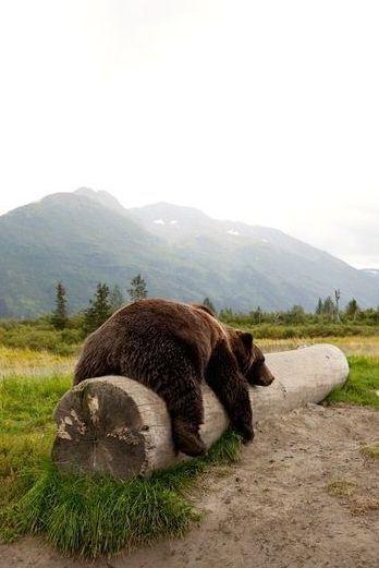 Adult Brown bear rests on a log at the Alaska Wildlife Conservation Center                                                                                                                                                      More