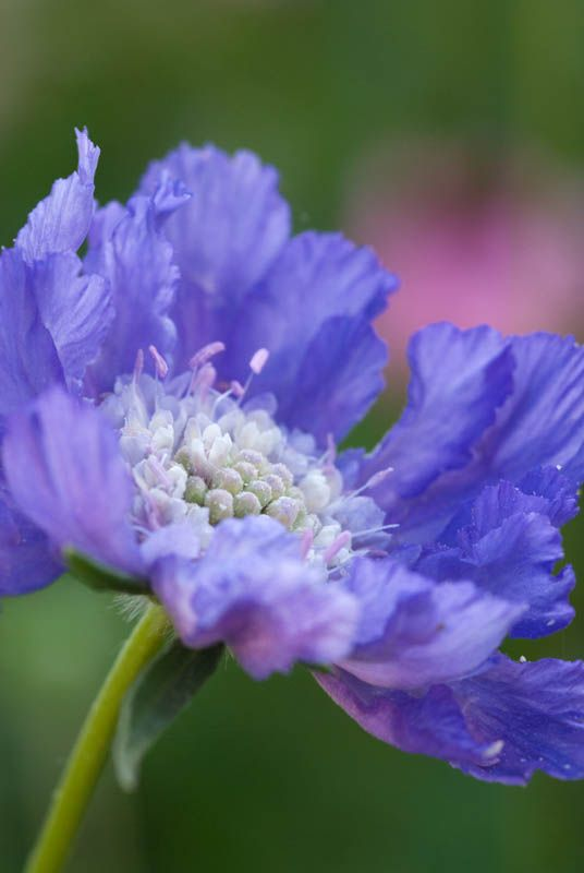 Scabiosa caucasica | Cool Places