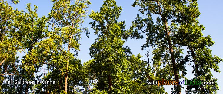 Tall Sal trees from Kanha. Time to go to Kanha is now. http://wildplacesofindia.com/kanha-national-park-and-tiger-reserve.html