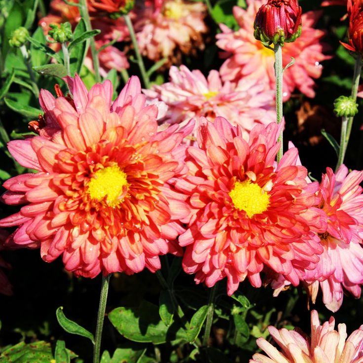 Chrysanthemum Morifolium Stardust Mum