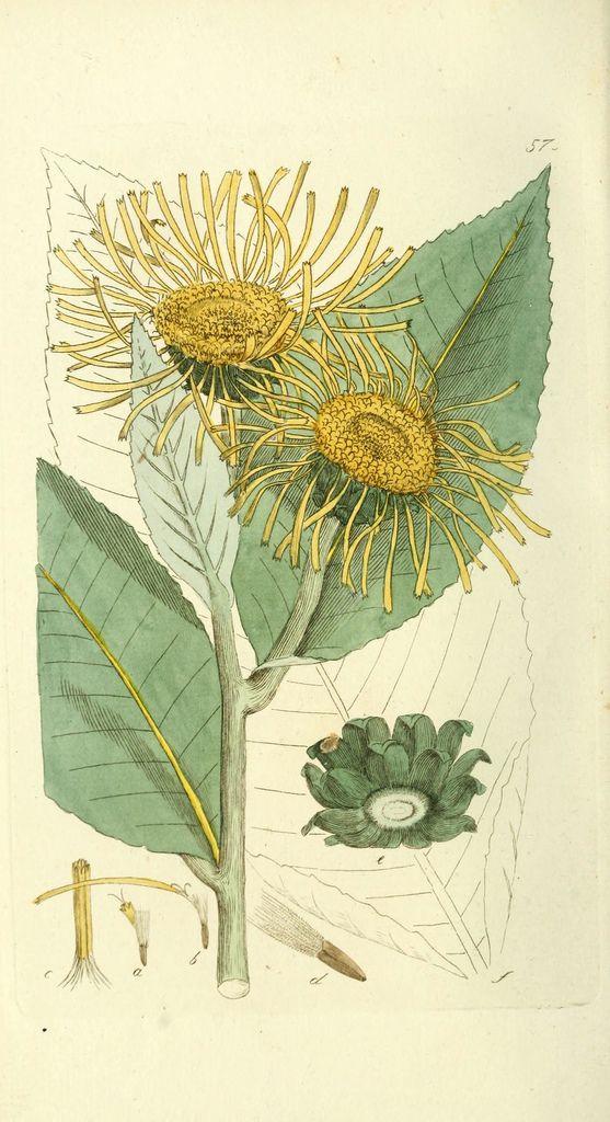 n235_w1150 by BioDivLibrary, via Flickr: Photos, Elecampan Inula, Tryckt Hos, Art Botanical, Inula Helenium Won T, Botanical Art, Arty Cartoons Fotos Fun, Art Creativos