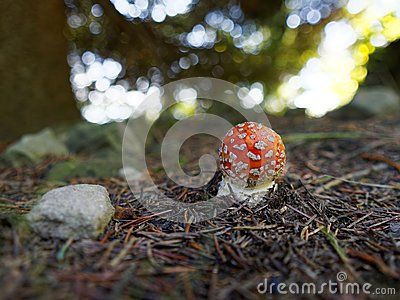 Small toadstool Amanita muscaria commonly known as fly agaric or fly amanita