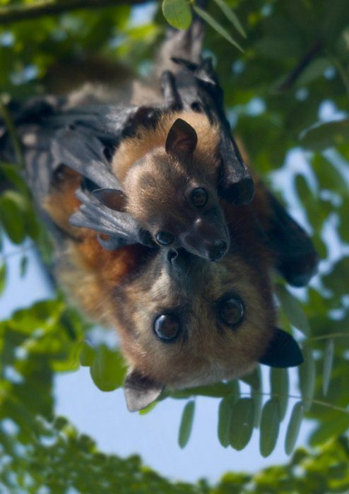 Fruit bat with baby                                                                                                                                                     More