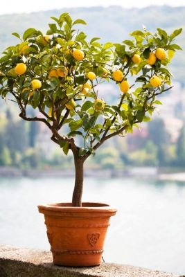 Lemon Tree, Flower Pot, Tree, Citrus Fruit, Lemon,...