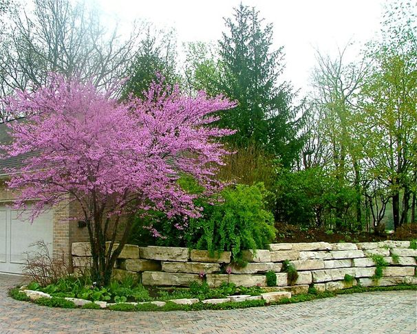 eastern redbud  cercis canadensis  native from the plains east to southern new england and south