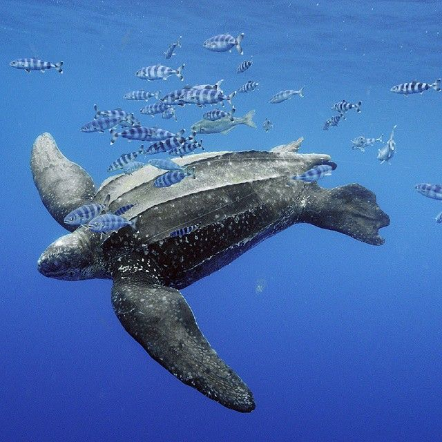 """I spied this massive Leatherback Turtle and his Pilotfish entourage."